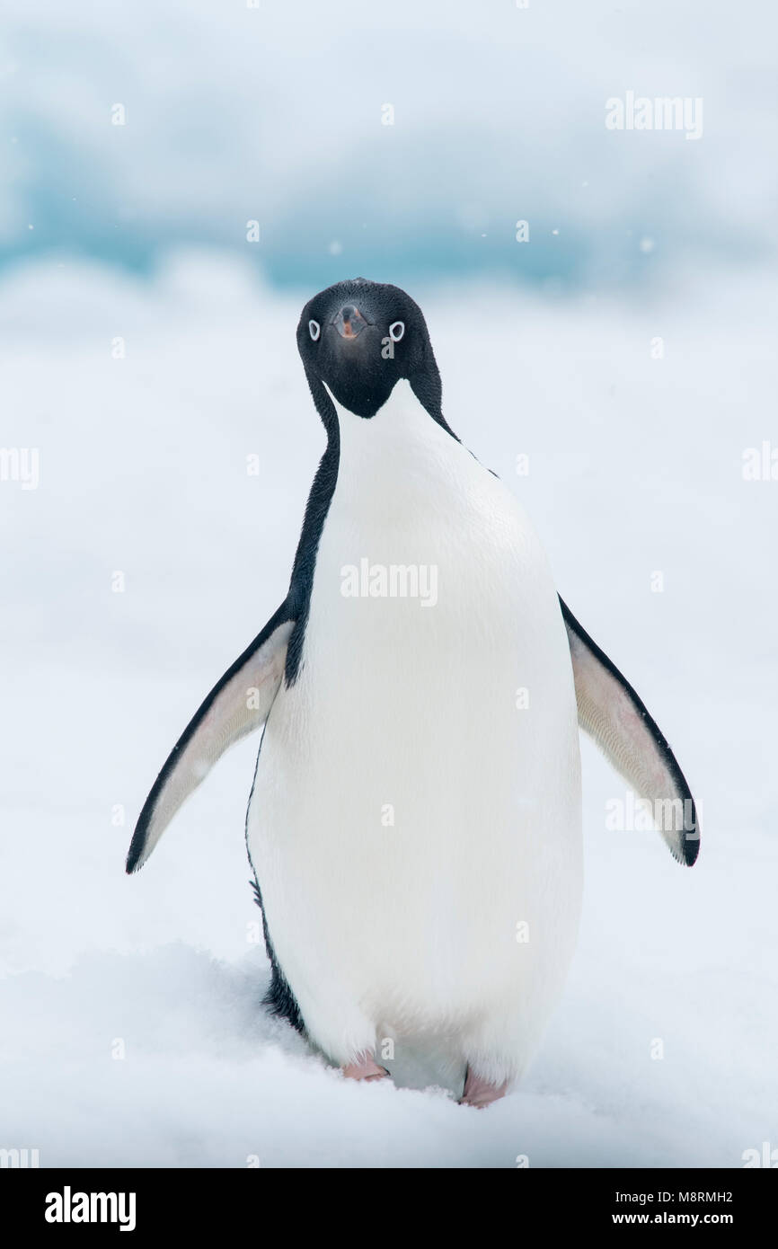 An Adelie penguin stands on top of an iceberg as snow falls in Antarctica. - Stock Image