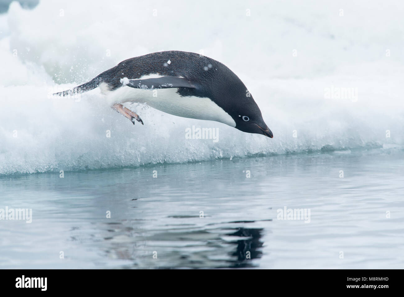 An Adelie penguin dives into the ocean from the top of an iceberg, as snow falls in Antarctica. - Stock Image