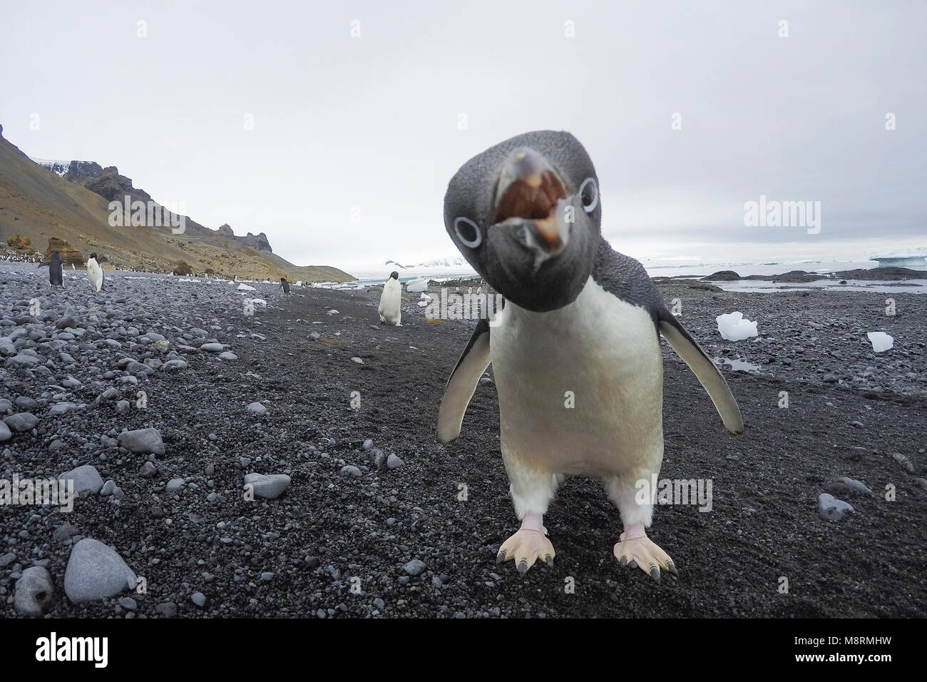 Close up portrait of an Adelie penguin at Brown Bluff, Antarctica. - Stock Image