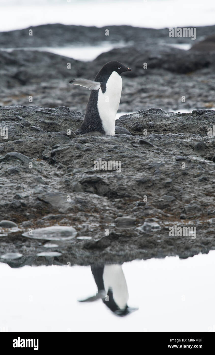 An Adelie penguin walks along the shoreline casting a reflection in the water at Brown Bluff, Antarctica. - Stock Image