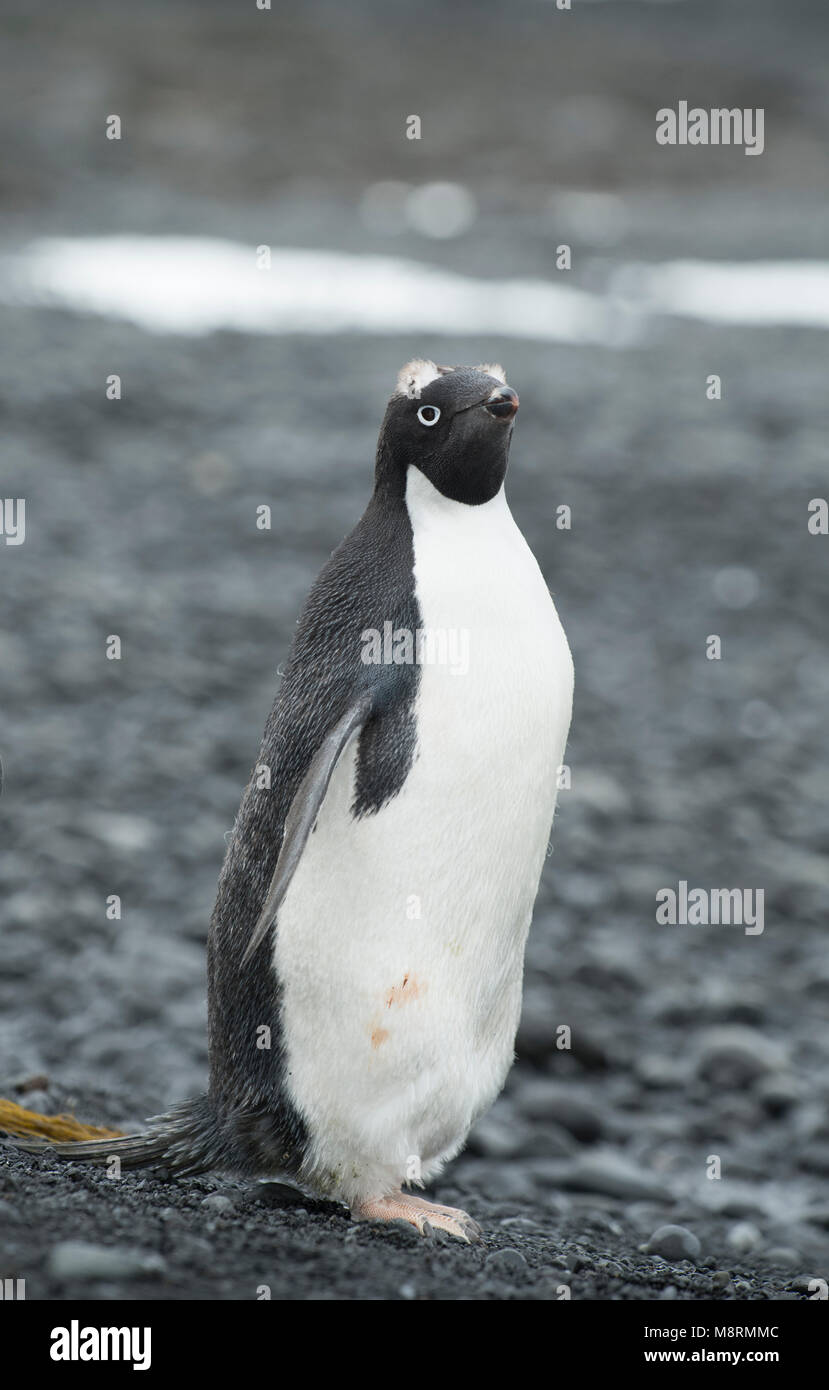 An Adelie penguin stands along the shoreline at Brown Bluff, Antarctica in the late stages of molting, with visible - Stock Image