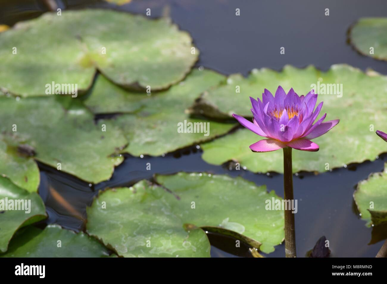 National flower of bangladesh stock photos national flower of nymphaea nouchalialso know as the star lotus or blue lotus is native izmirmasajfo