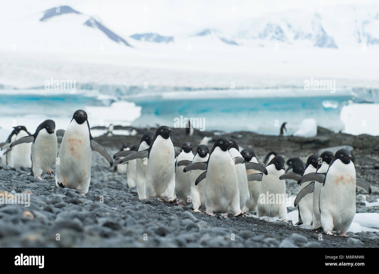 Groups of Adelie penguins walk along the shoreline at Brown Bluff, Antarctica. - Stock Image
