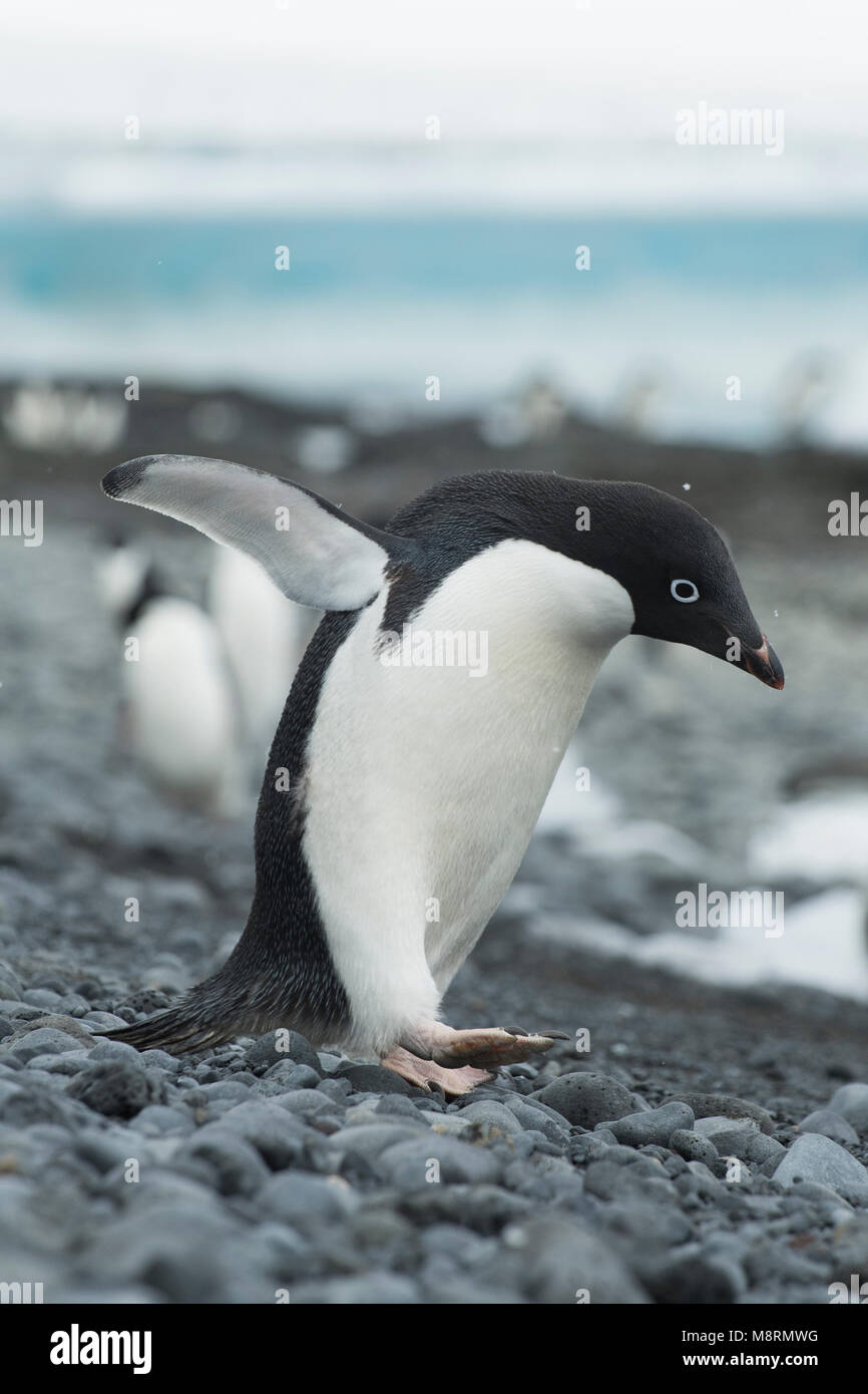 An Adelie penguin walks along the rocky shoreline at Brown Bluff, Antarctica. - Stock Image