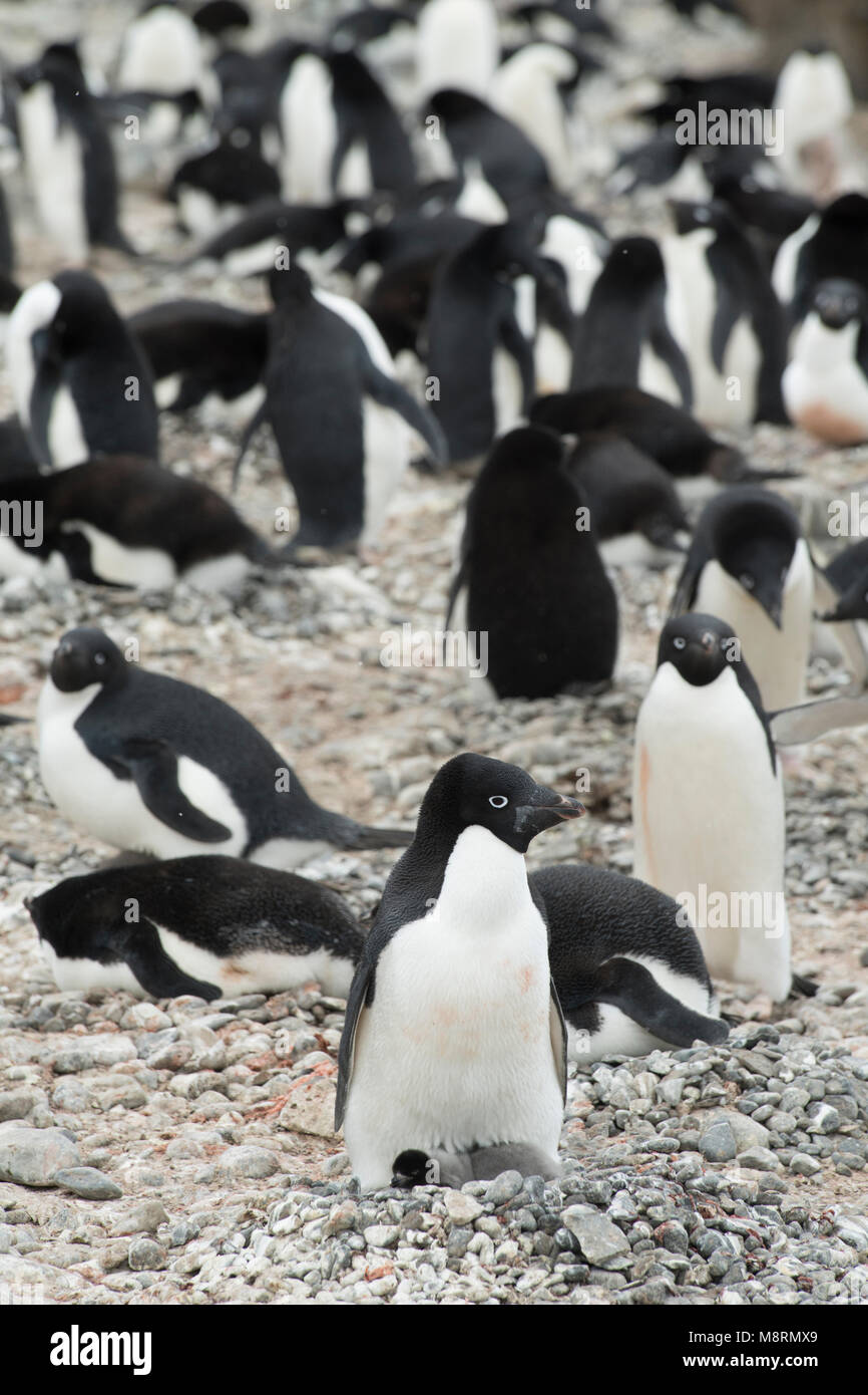Adelie penguin colony at Brown Bluff, Antarctica. - Stock Image