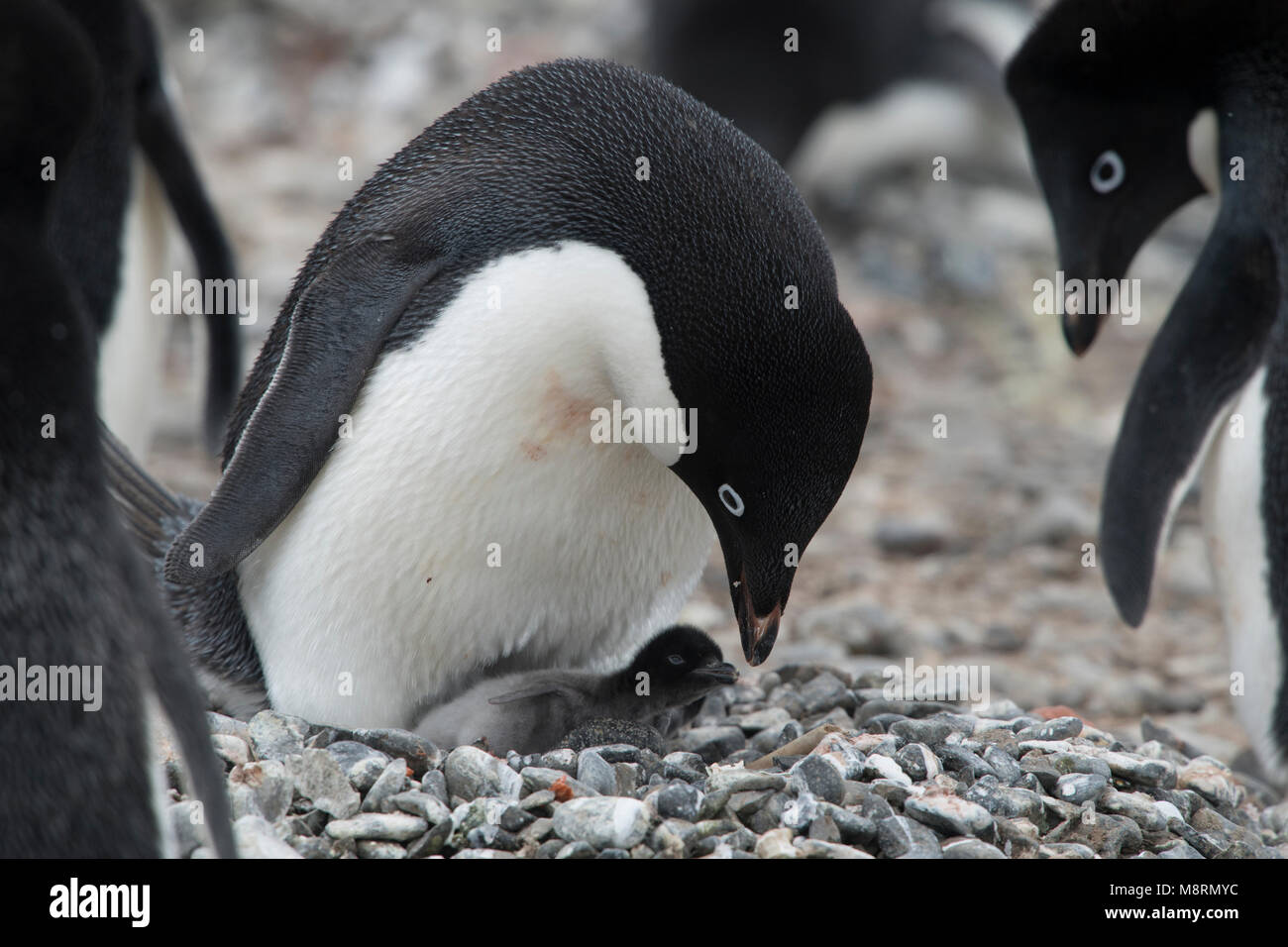 An Adelie penguin feeds its penguin chick at the penguin colony on Brown Bluff, Antarctica. - Stock Image