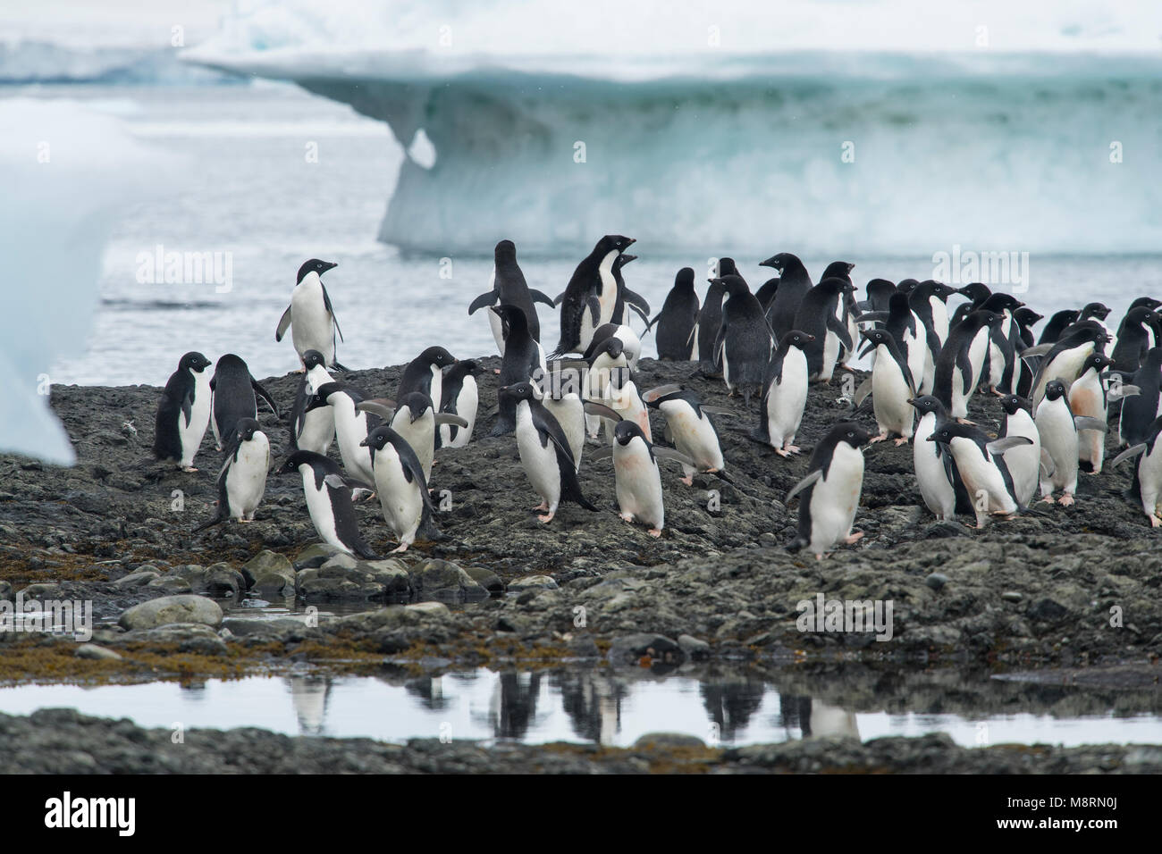 Groups of Adelie penguins walk along the shoreline at Brown Bluff, Antarctica. Stock Photo