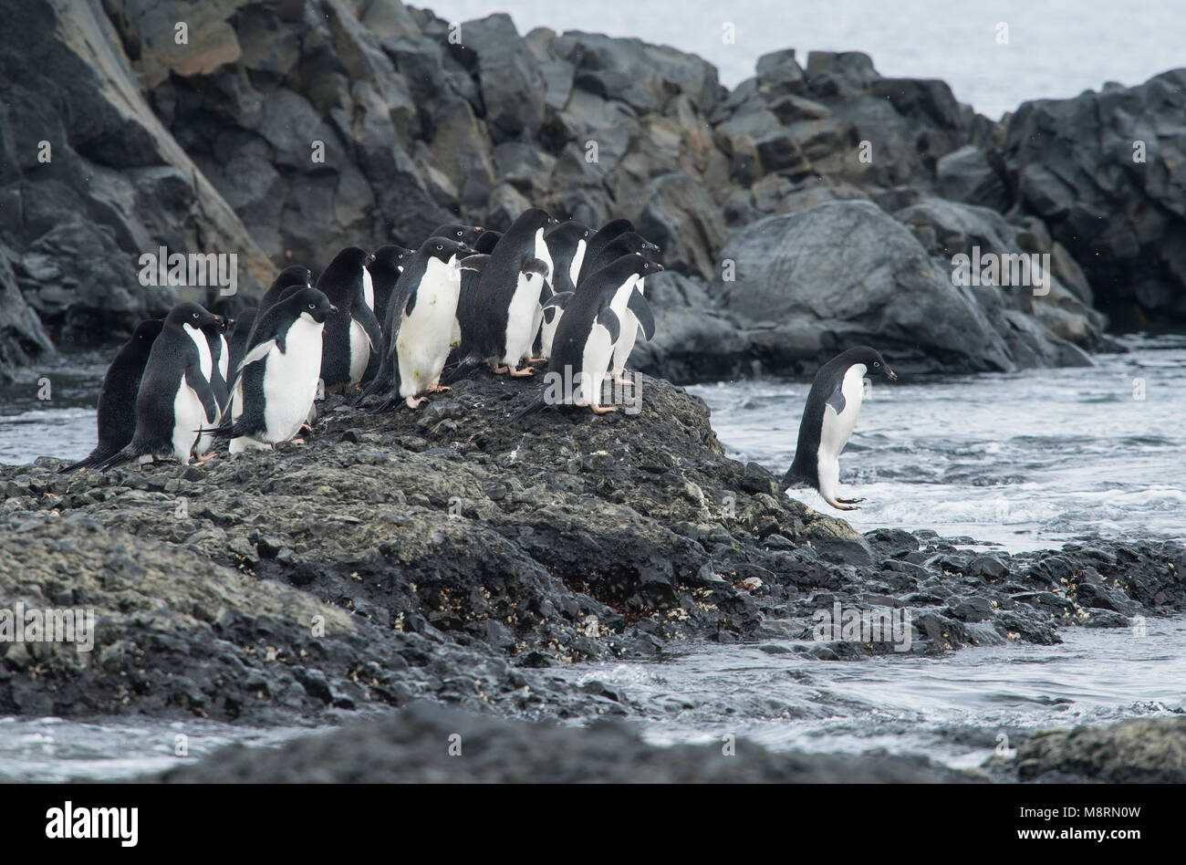 A group of Adelie penguins make their way to the ocean at Brown Bluff, Antarctica. - Stock Image