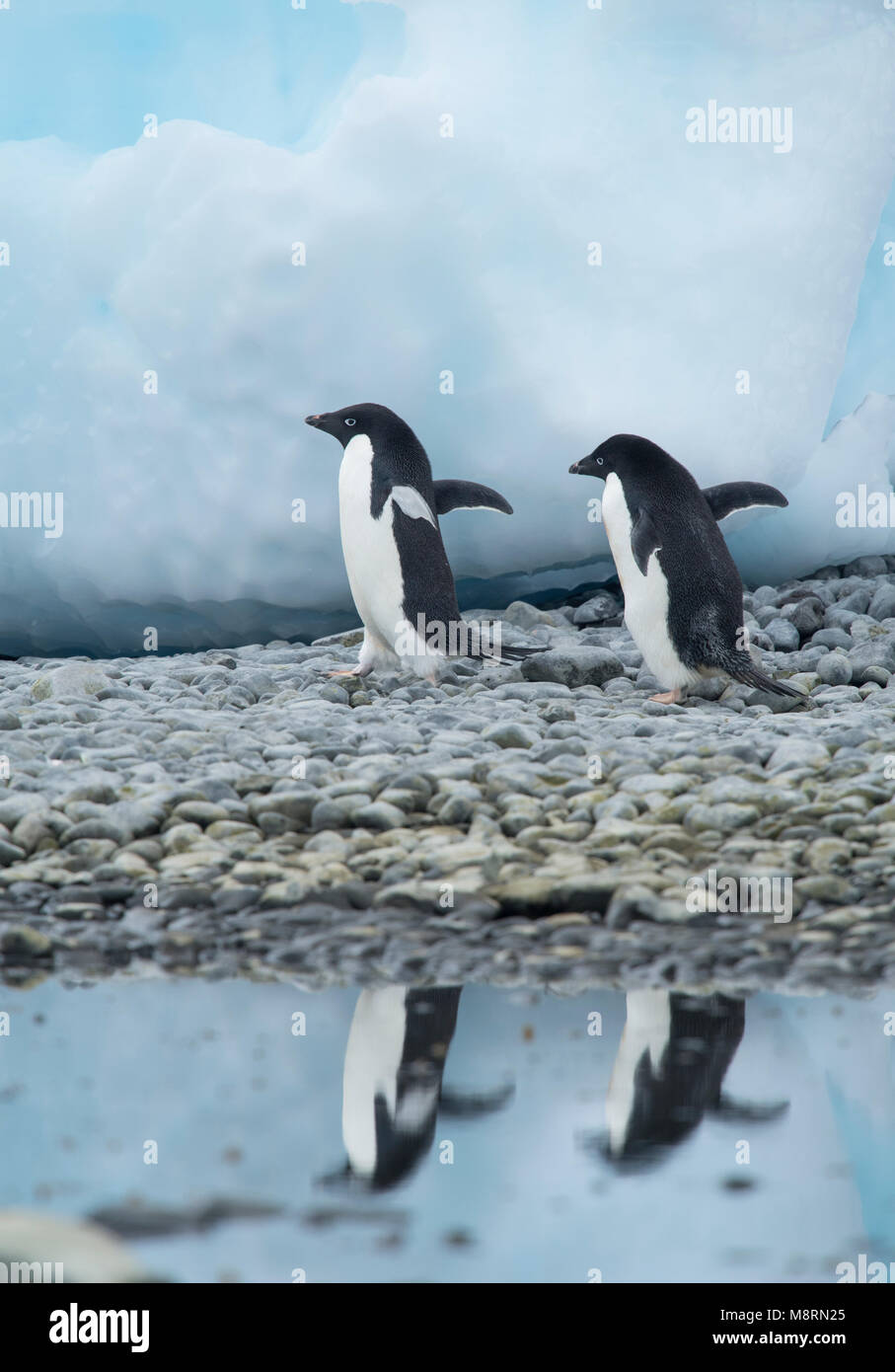 Two Adelie penguins walks along the shoreline casting a reflection in the water at Brown Bluff, Antarctica. - Stock Image