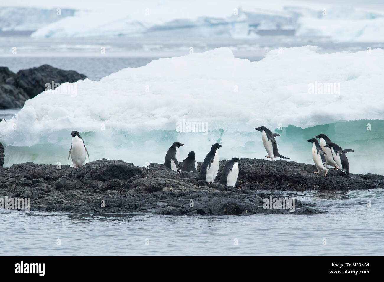 A group of Adelie penguins walk along the ice at Brown Bluff, Antarctica. - Stock Image