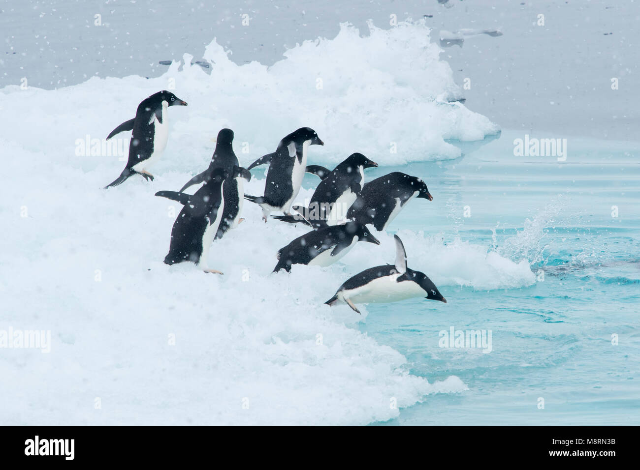 A group of Adelie penguins dive into the ocean from an iceberg in Antarctica. - Stock Image