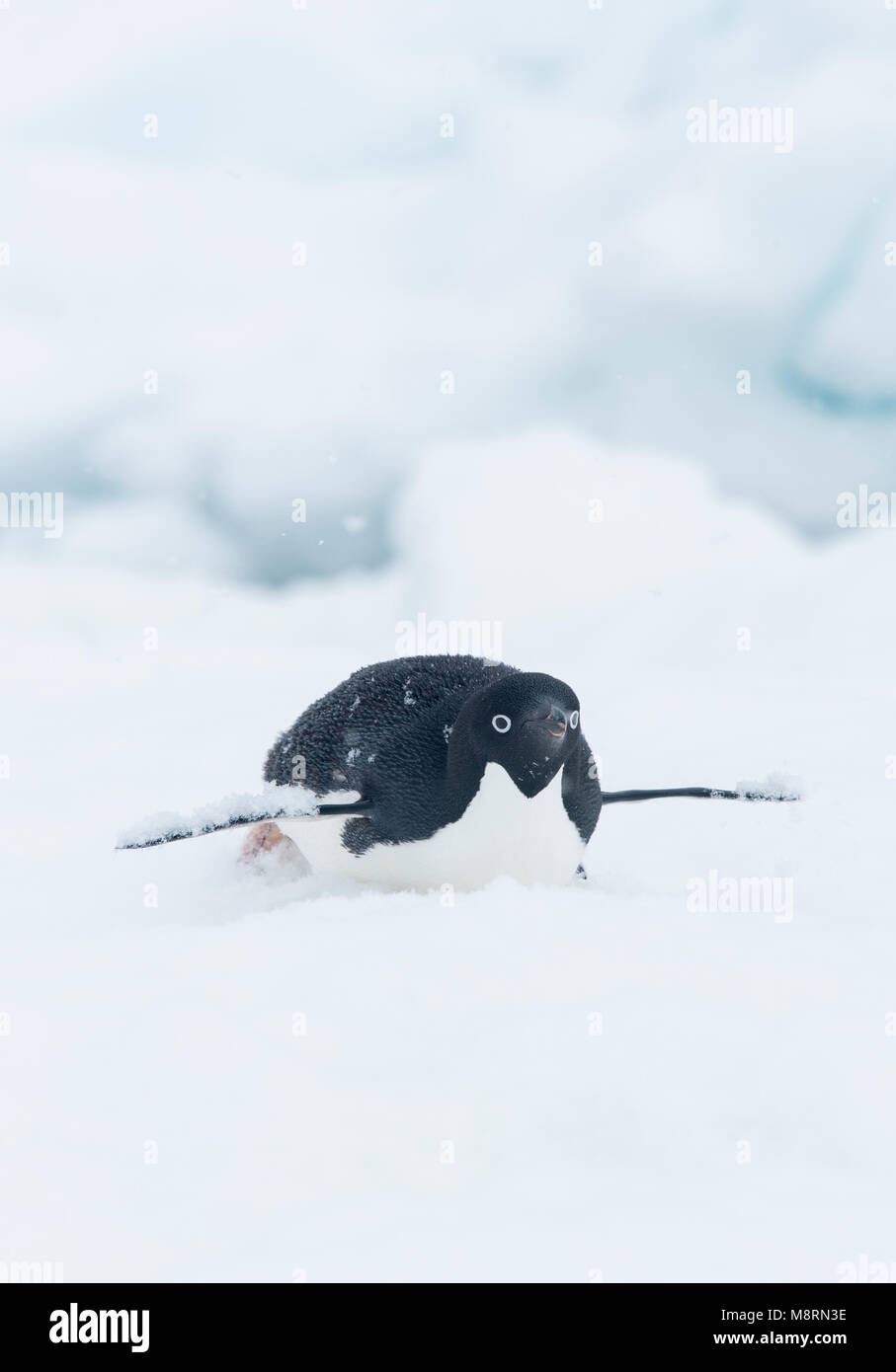 Snow falls on top of an Adelie penguin as it slides along the top of an iceberg on its belly, also known as tobogganing. - Stock Image