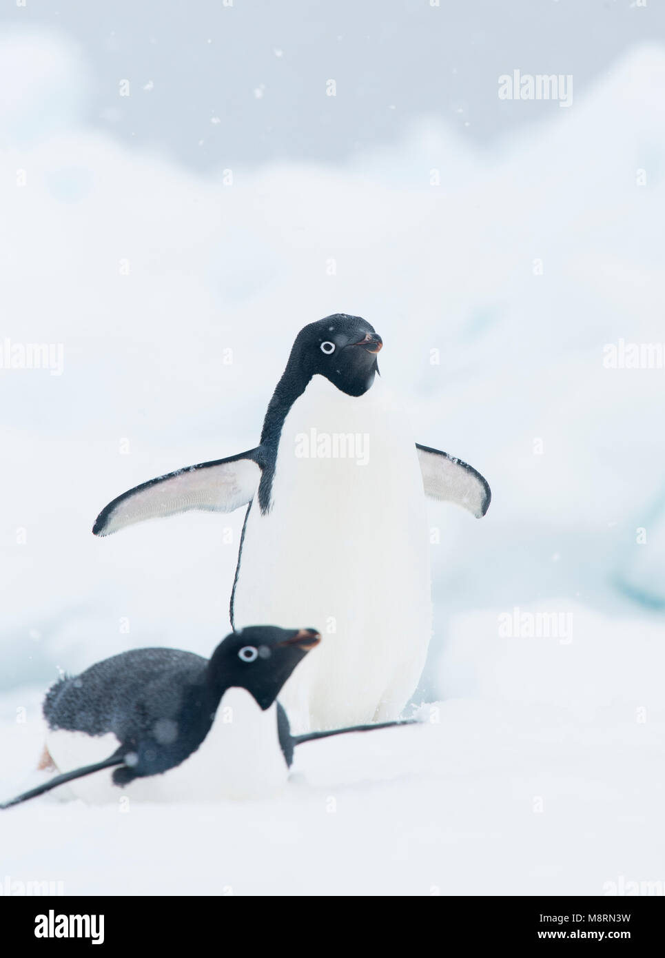 Snow falls on two Adelie penguins on an iceberg in Antarctica. - Stock Image