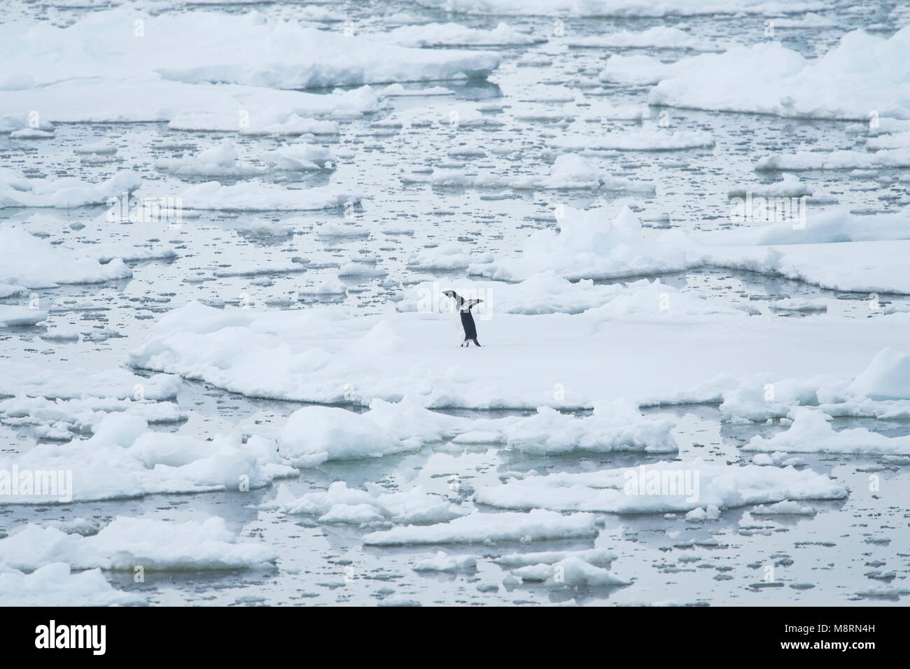 One lone Adelie penguin stands on top of pack ice in the French Passage off the coast of the Antarctic Peninsula. - Stock Image