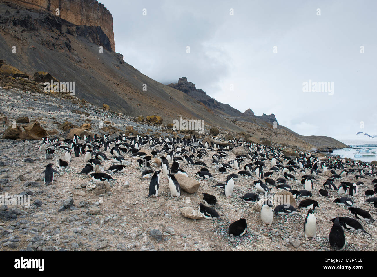 Adelie penguin colony nesting at Brown Bluff, Antarctica. - Stock Image