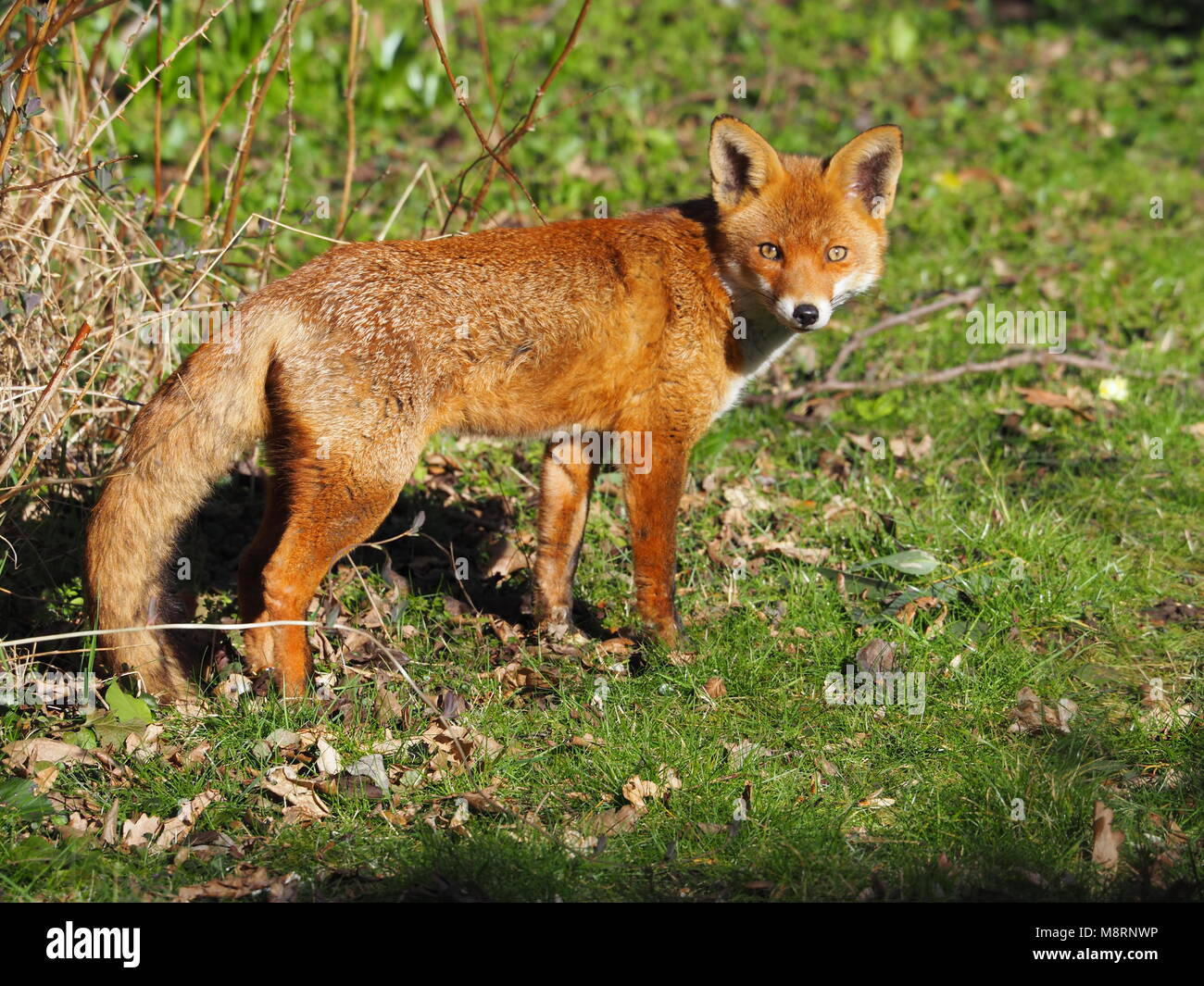 An alert wild British Fox waking up from an afternoon snooze in spring sunshine in a Hertfordshire garden, UK. - Stock Image