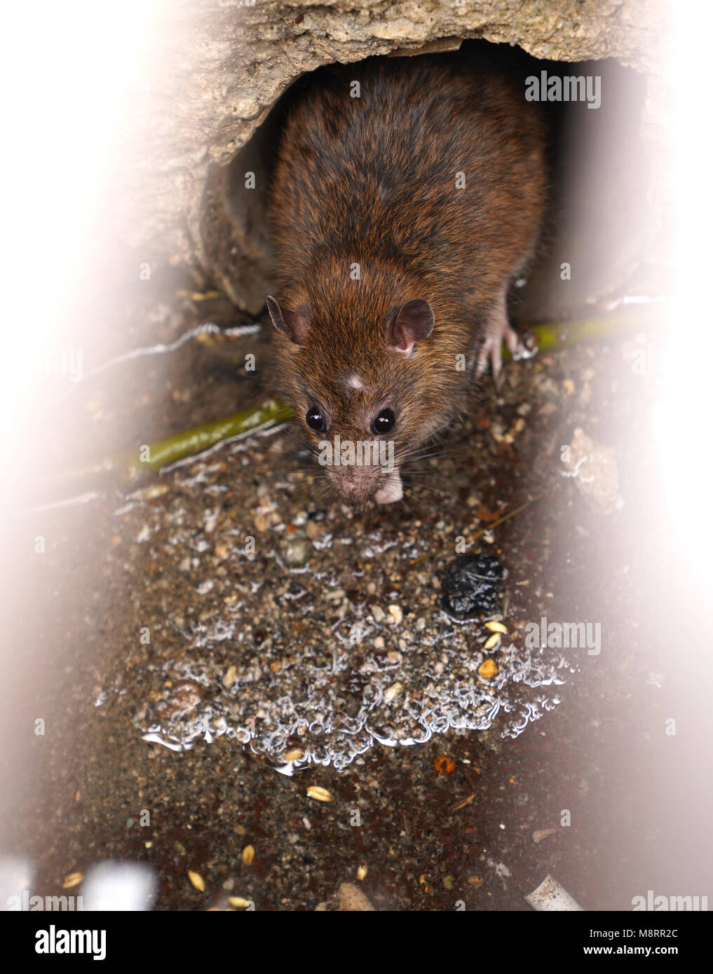 Rat on a sewer could bee seen from drain grate - Stock Image