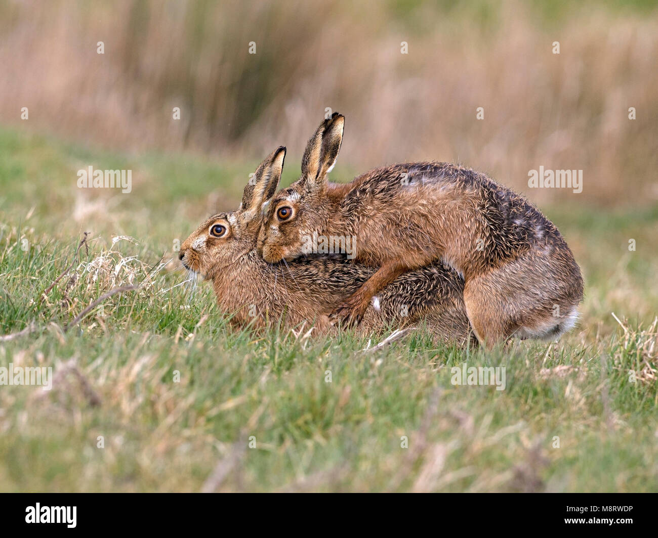 European brown hare mating Stock Photo