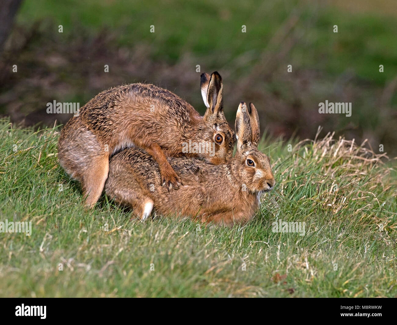 European brown hare mating - Stock Image