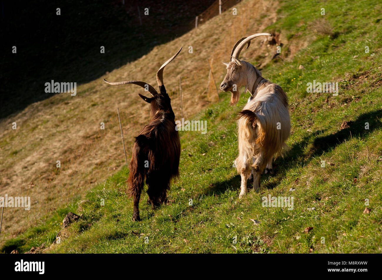 goats in the mountain pasture Stock Photo