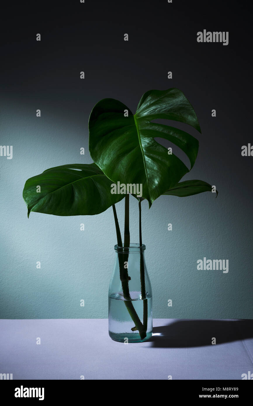 Close-up of monstera leaves in vase on table against wall - Stock Image