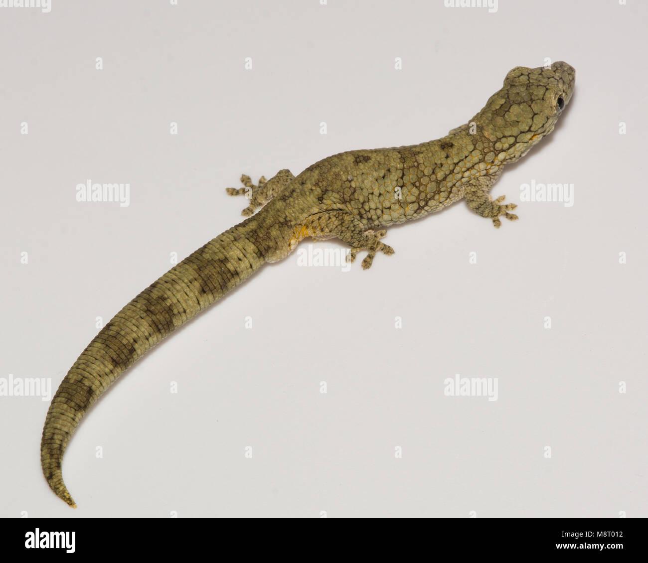 Chameleon White Background Stock Photos Amp Chameleon White