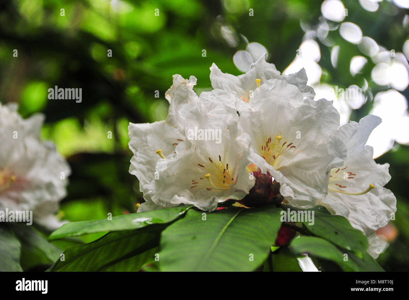 Cunninghams White Rhododendron Stock Photos Cunninghams White