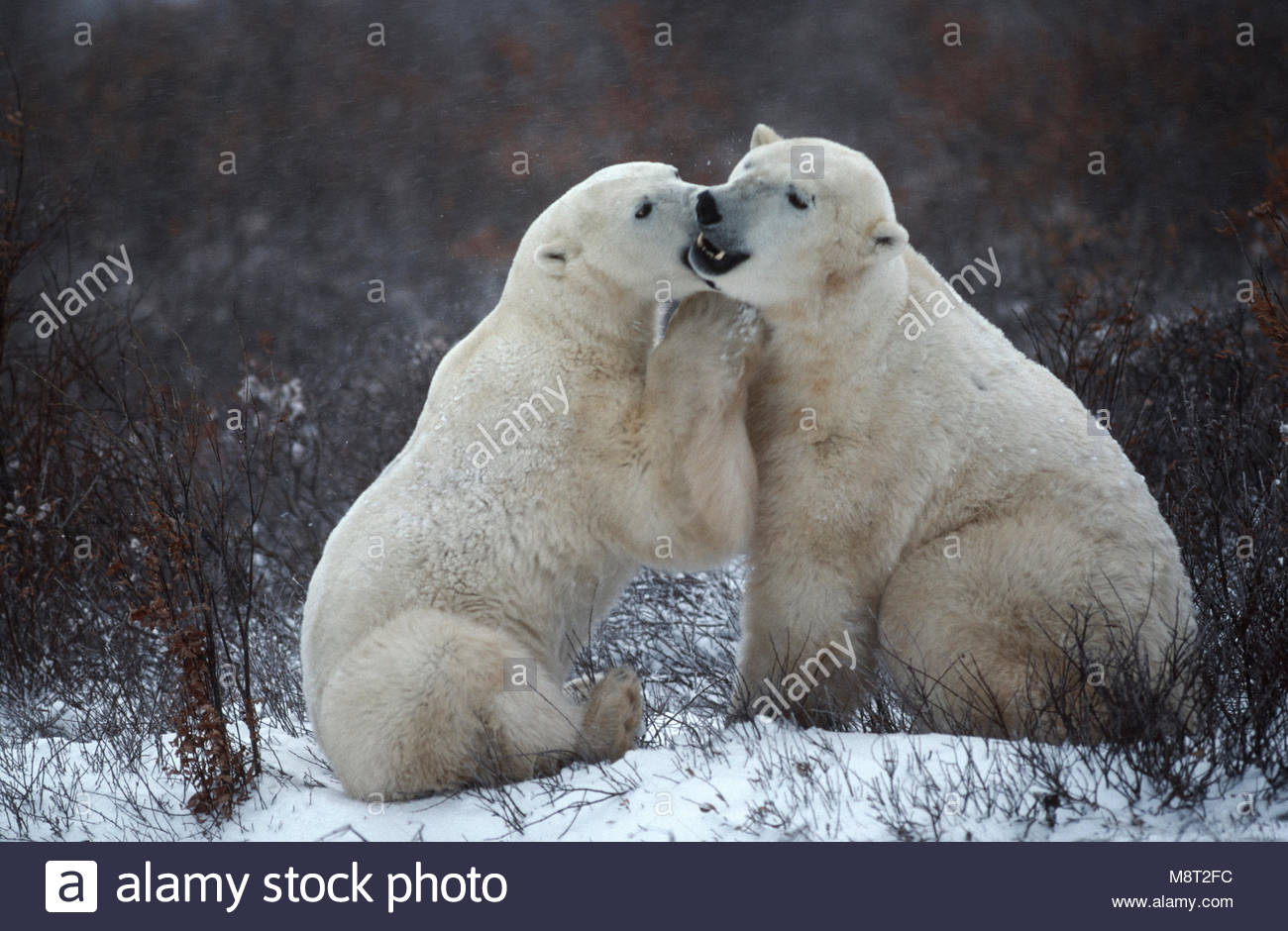 Polar bears (Ursus maritimus) appears to be whispering a funny joke, Wapusk National Park, MB, Canada - Stock Image