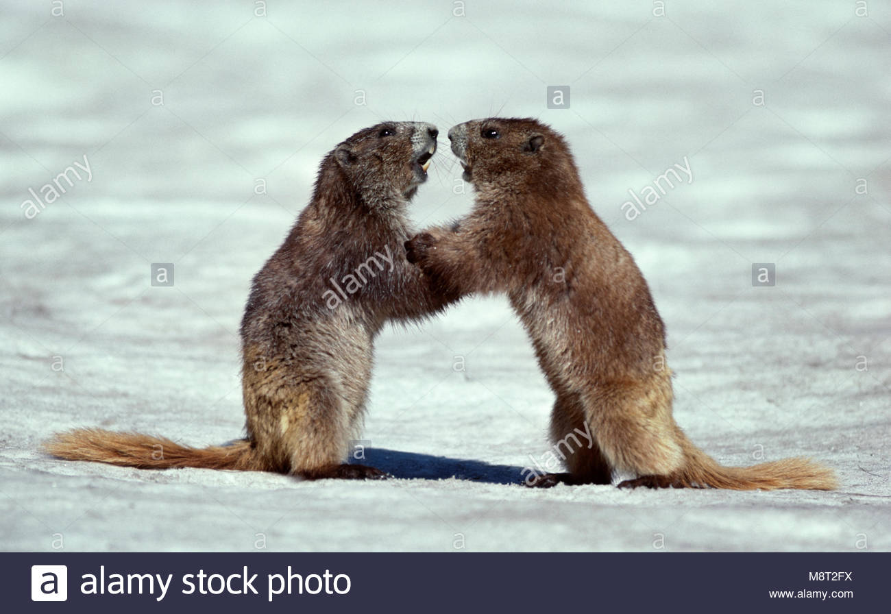 Olympic Marmots (Marmota olympus) play fighting on snow, Olympic National Park, Washington, USA. - Stock Image