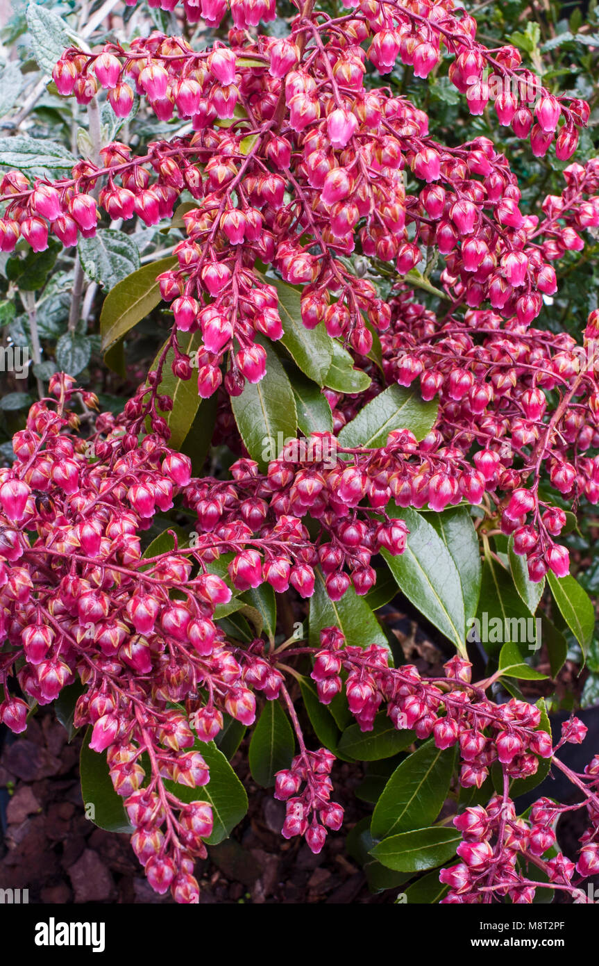 Pieris Ericaceae 'Valley Valentine' showing dark red flowers. - Stock Image