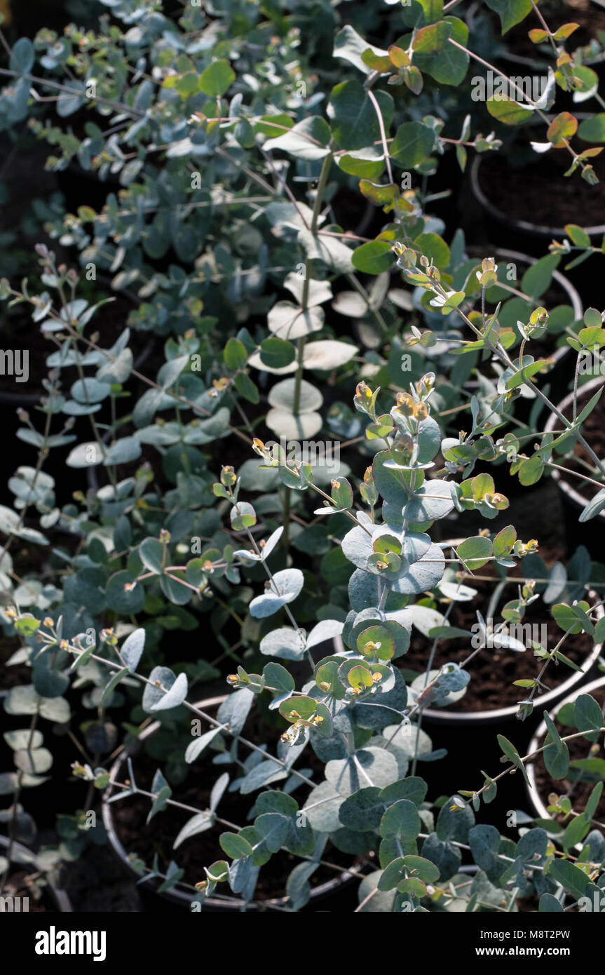 Young Eucalypyus gunnii plants in in 1.5lt pots.  Common name Gum, Ironbark, Cider gum.  Family name MYRTACEAE. - Stock Image
