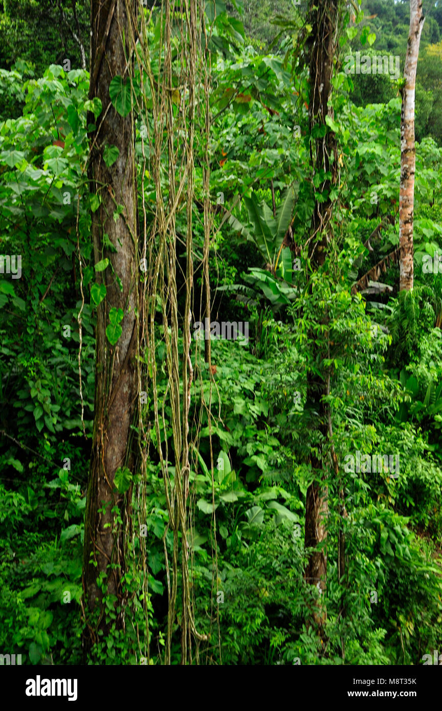 Lush, tropical plant life surround the rainforest hiking trail at the Trimbina Biological Reserve in Costa Rica. - Stock Image