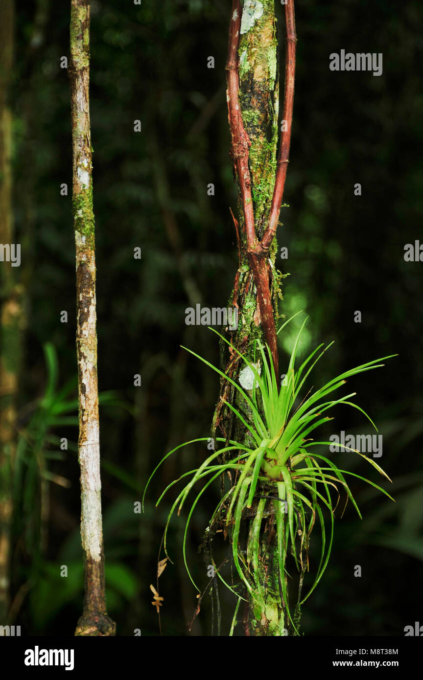 Aerial roots are roots above the ground and are found in diverse plant species, including epiphytes such  warm-temperate - Stock Image