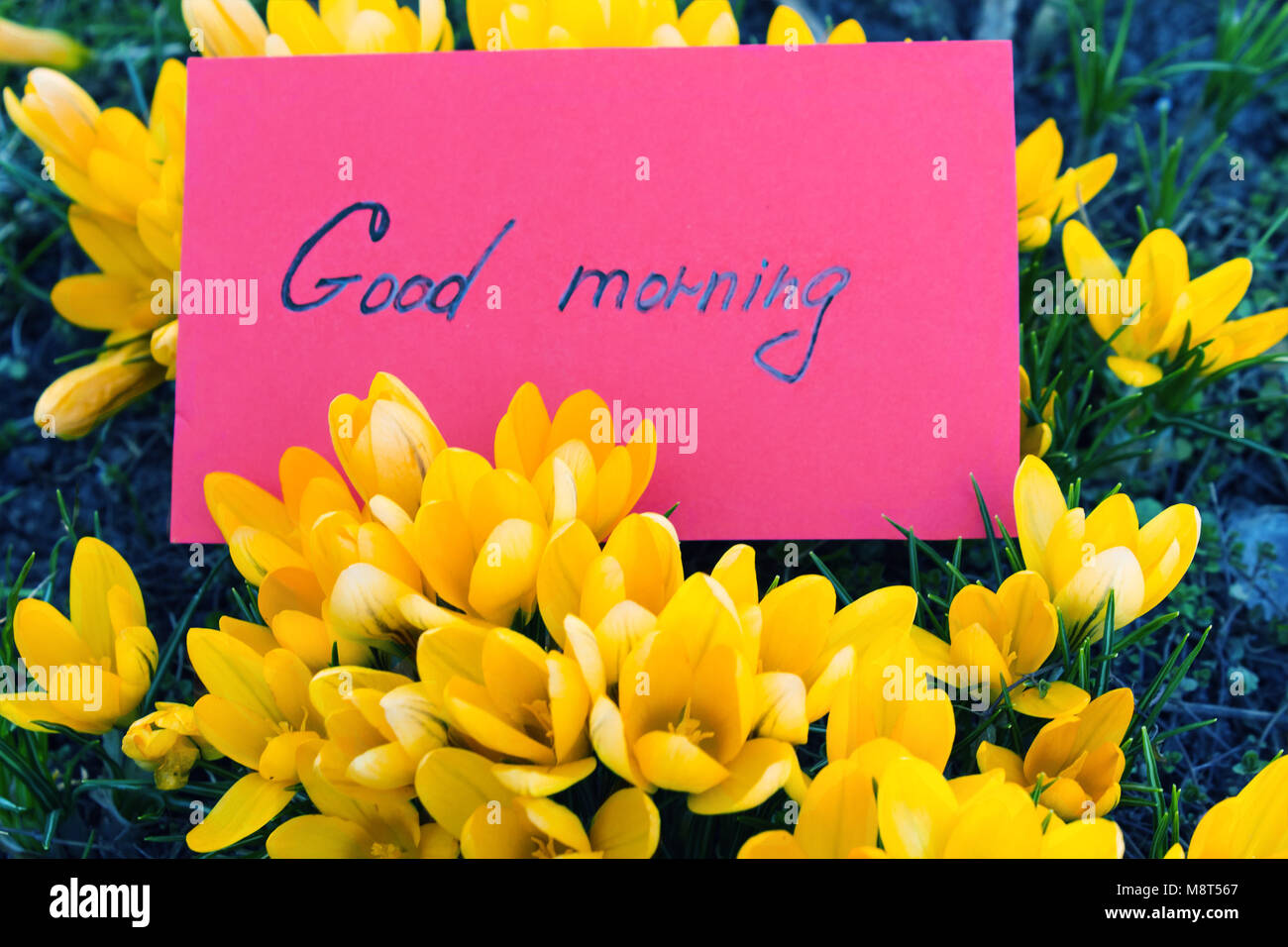 Yellow flowers of crocuses with a red card with the text good stock yellow flowers of crocuses with a red card with the text good morning toned photo mightylinksfo
