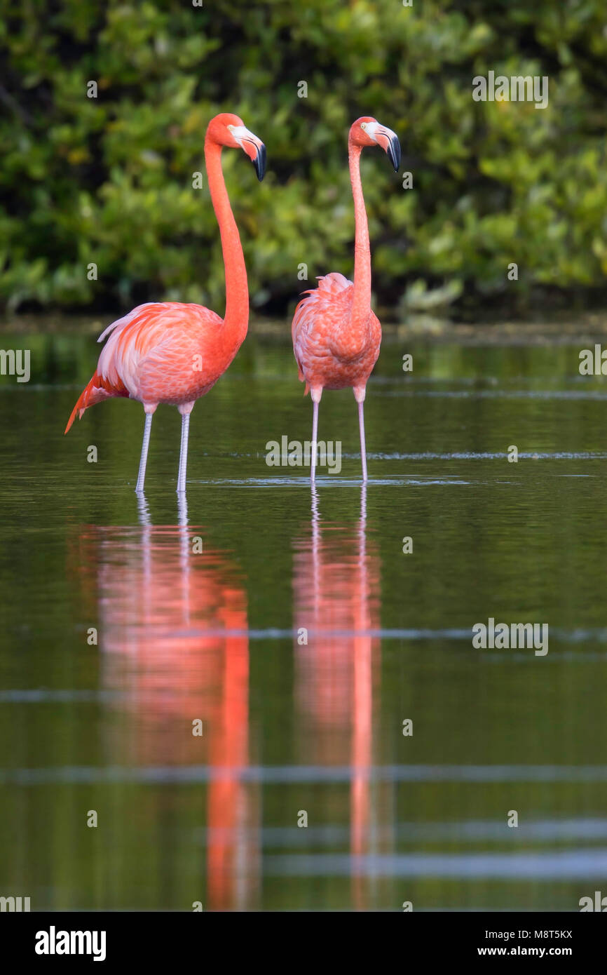 Rode Flamingo, American Flamingo, Phoenicopterus ruber Stock Photo
