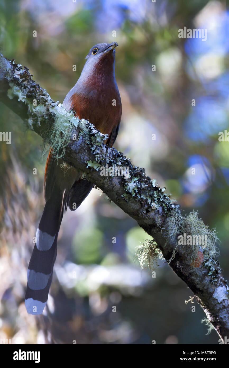 Mantero, Bay-breasted Cuckoo - Stock Image