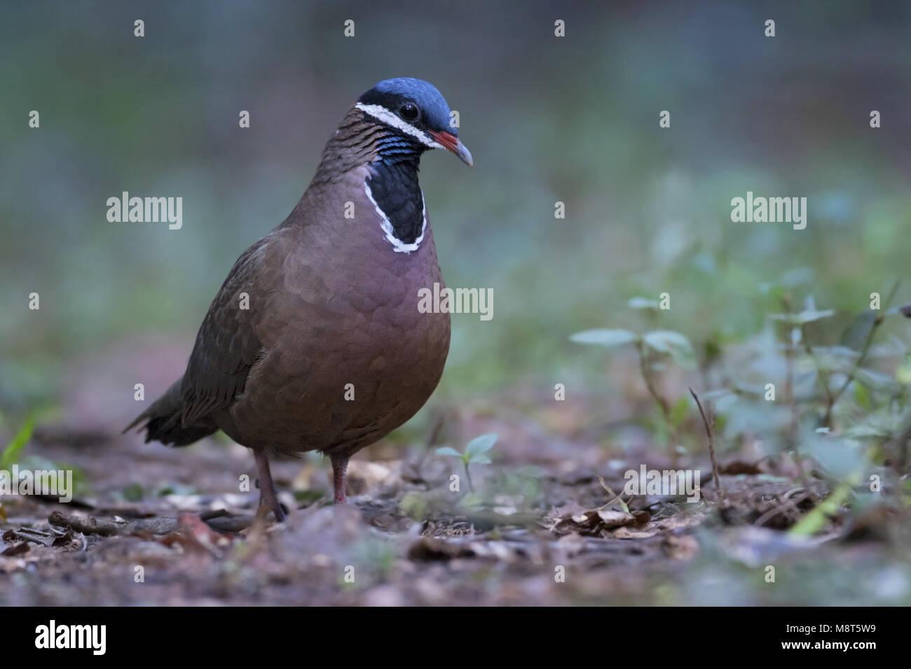 Blauwkopkwartelduif, Blue-headed Quail-Dove, Starnoenas cyanocephala Stock Photo