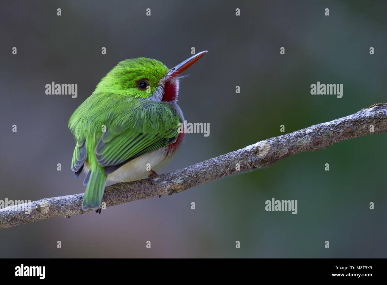 Diksnaveltodie, Broad-billed Tody - Stock Image