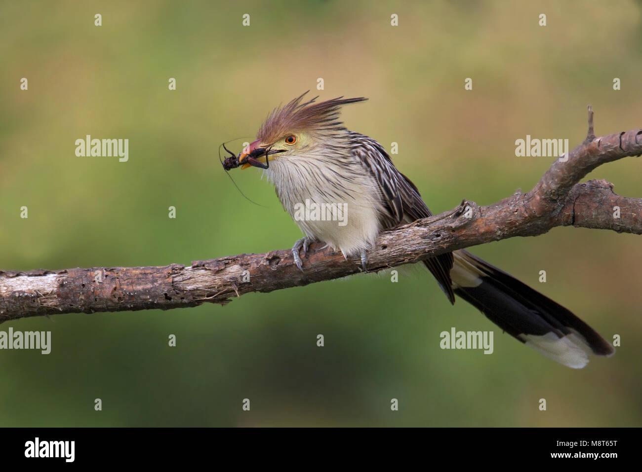 Zuidamerikaanse Kuifkoekoek met prooi, Guira Cuckoo with prey - Stock Image