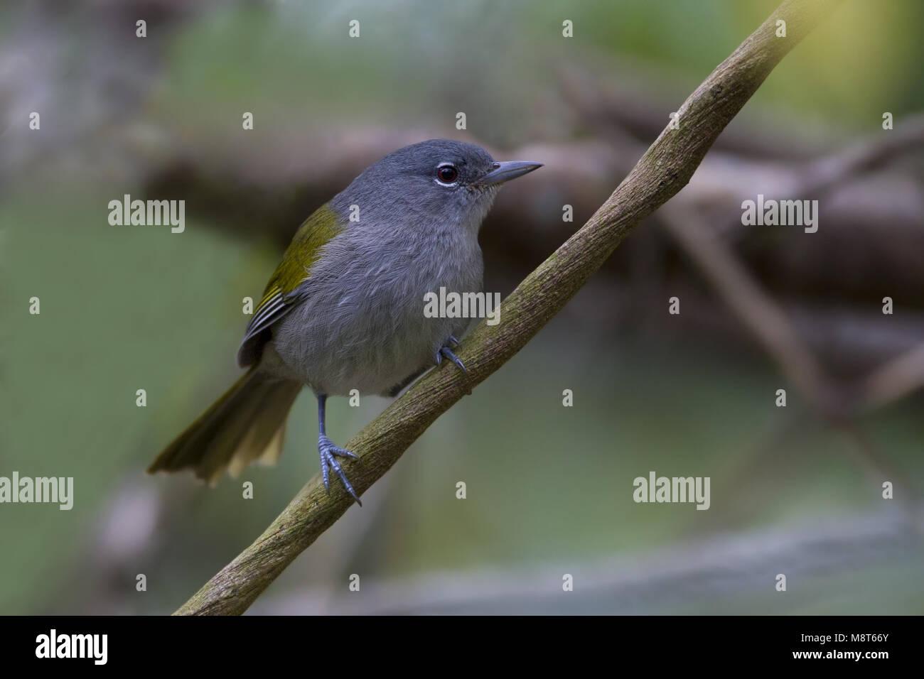 Haïtizanger, Green-tailed Warbler - Stock Image