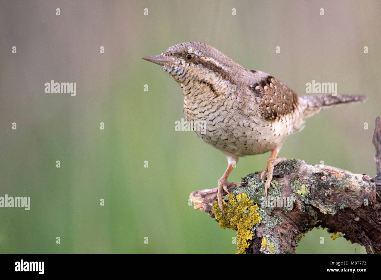 Draaihals; Wryneck - Stock Image