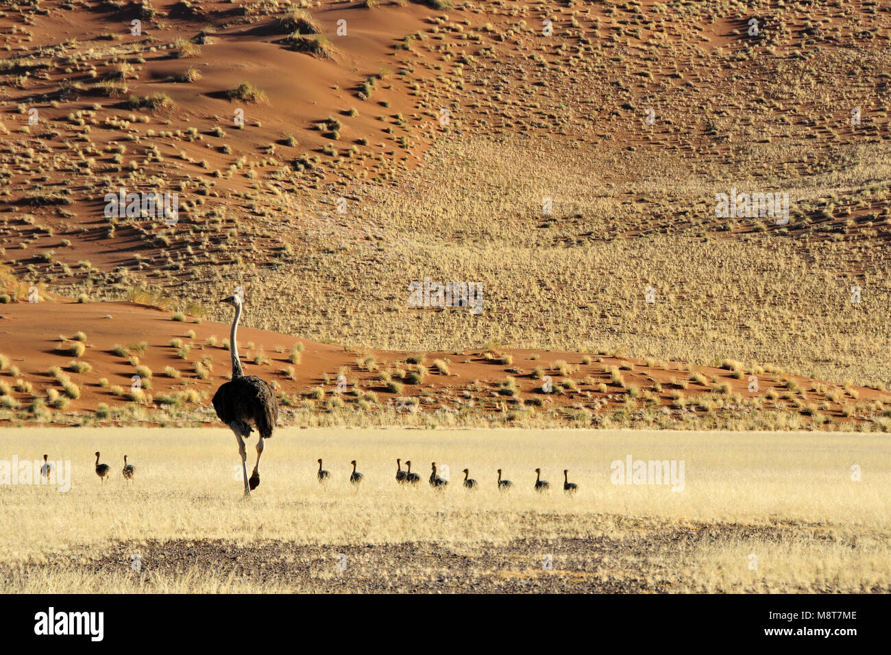 Ostrich with chicks - Stock Image
