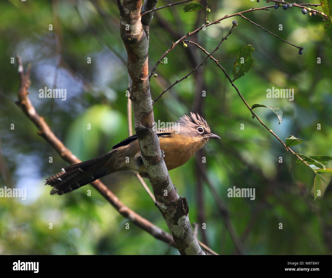 The black-crowned barwing (Actinodura sodangorum) is found in Laos and Vietnam and it is threatened by habitat loss. - Stock Image