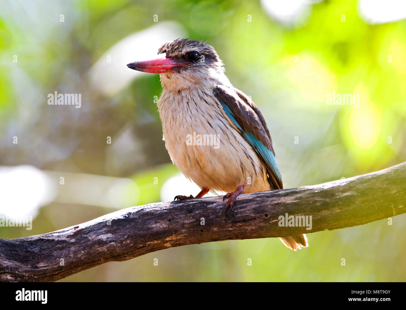 Bruinkapijsvogel, Brown-hooded Kingfisher, Halcyon albiventris - Stock Image