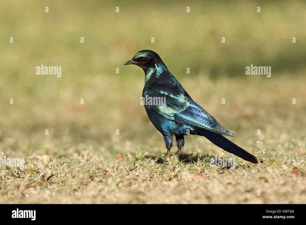 Grote Glansspreeuw , Burchell's Starling, Lamprotornis australis - Stock Image
