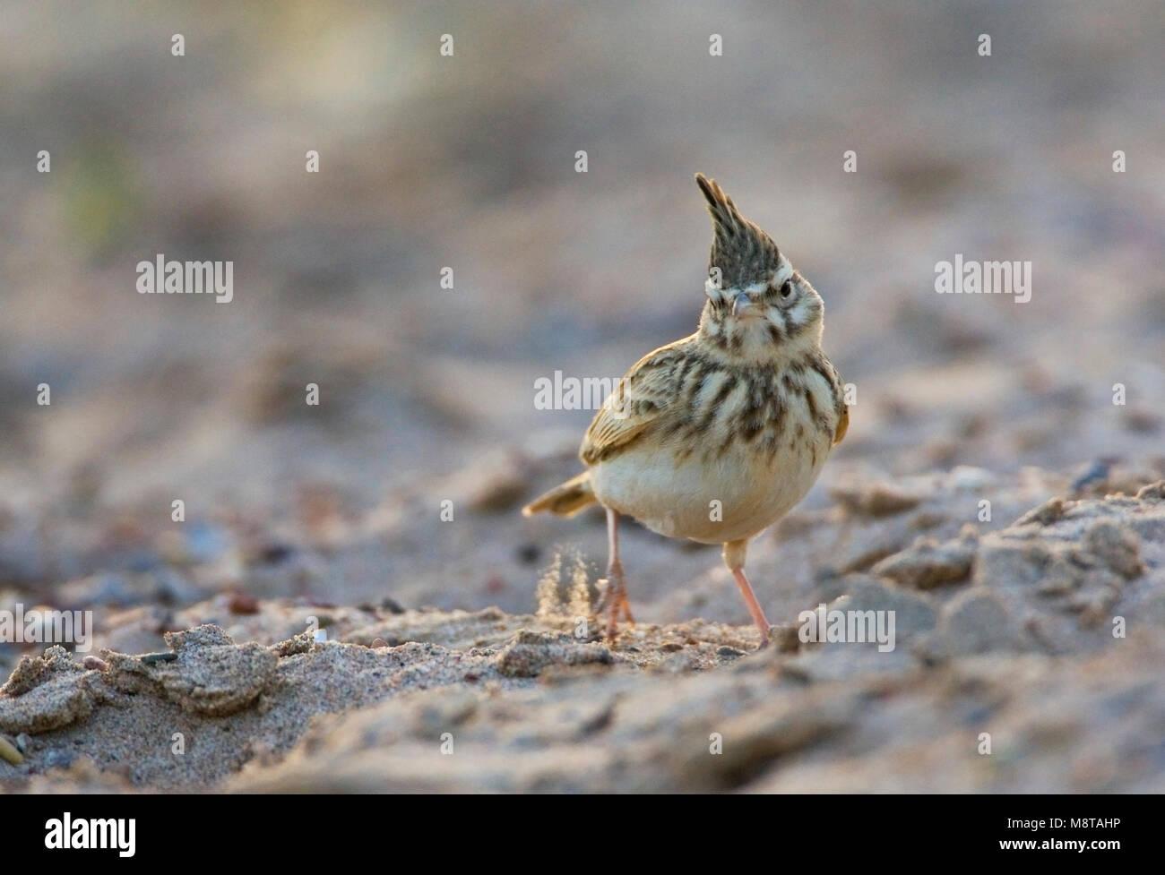 Kuifleeuwerik, Crested Lark, Galerida cristata Stock Photo