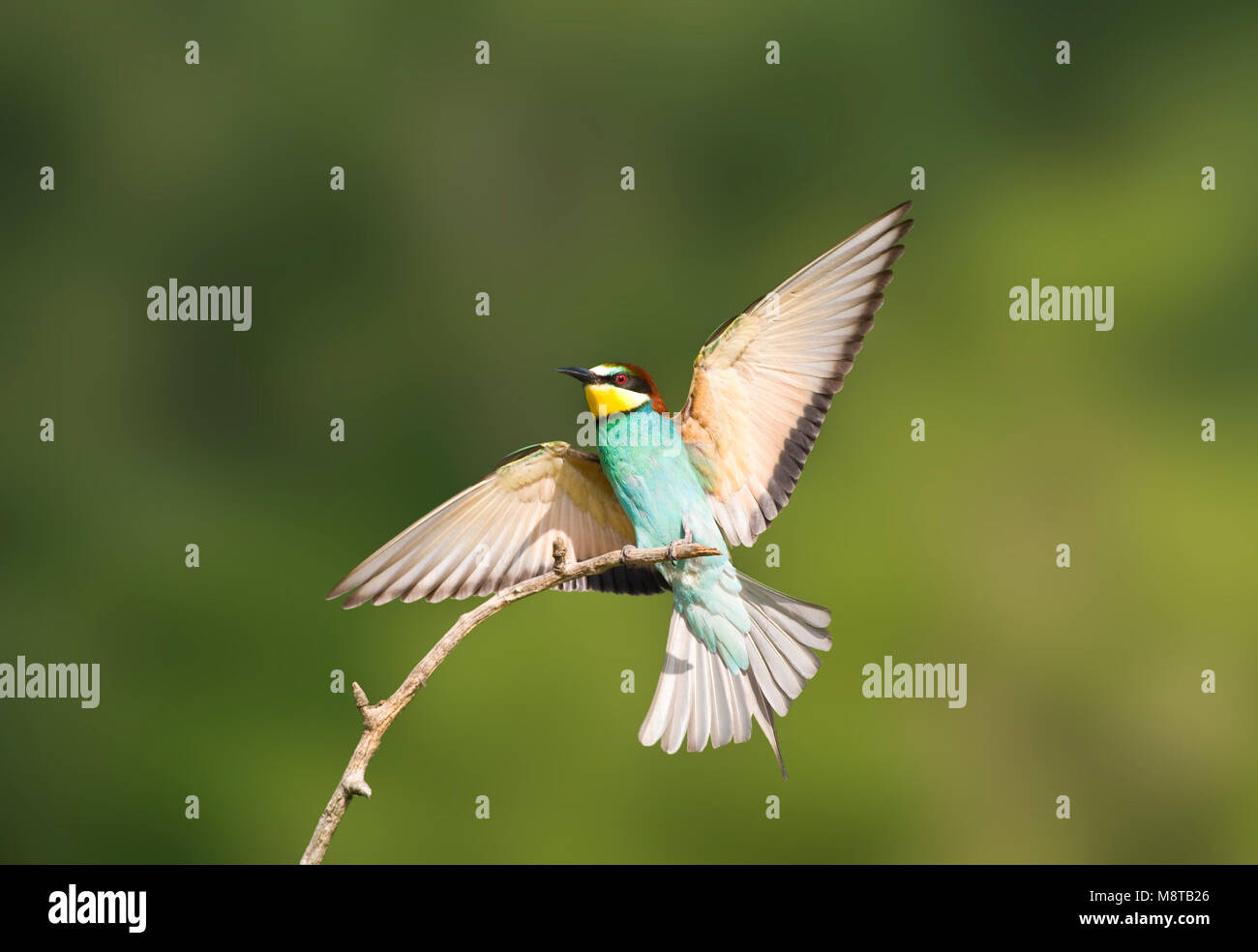 Bijeneter in vlucht; European Bee-eater in flight Stock Photo