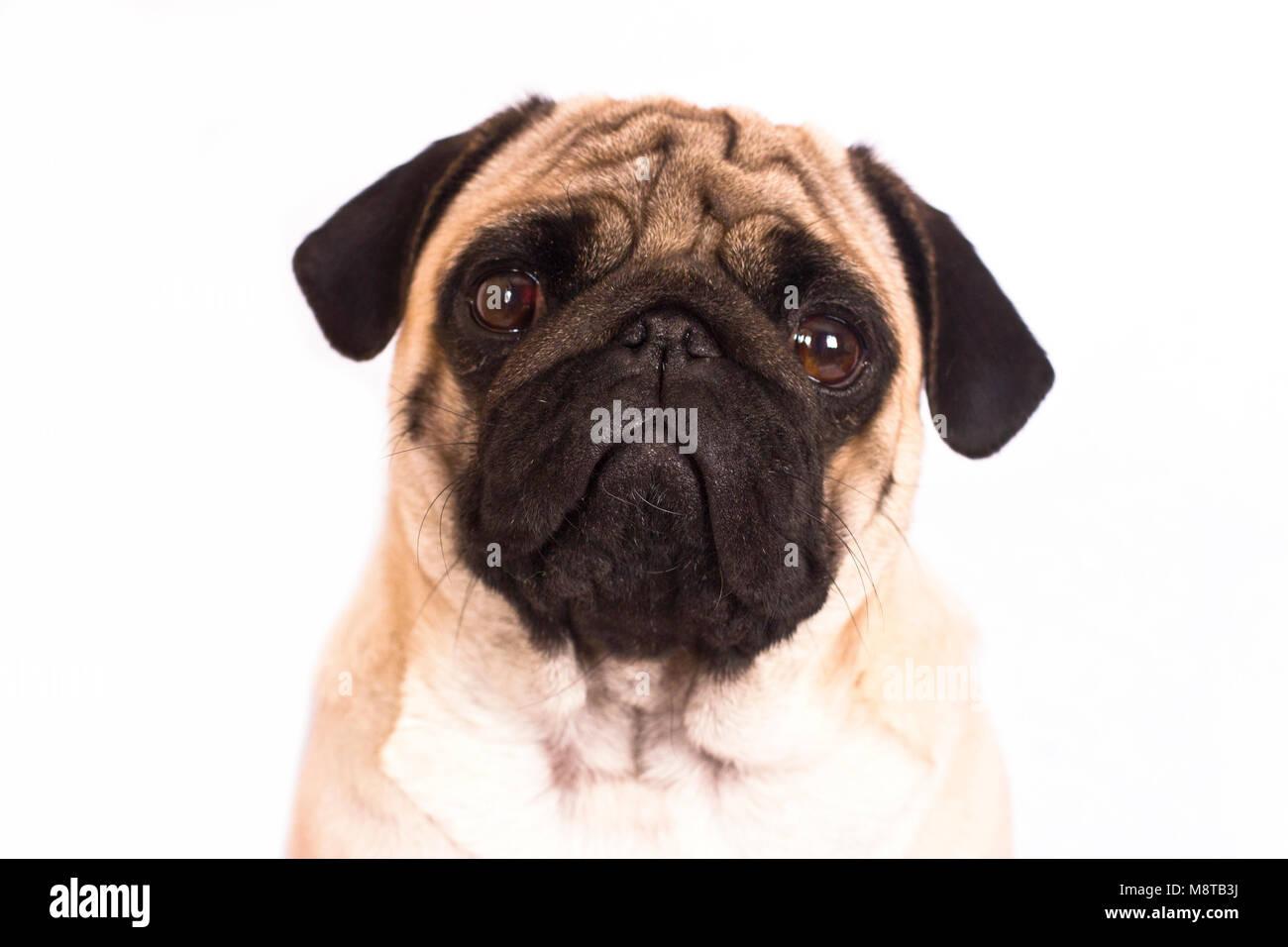 The pug dog sits and looks directly into camera. Sad big eyes. - Stock Image
