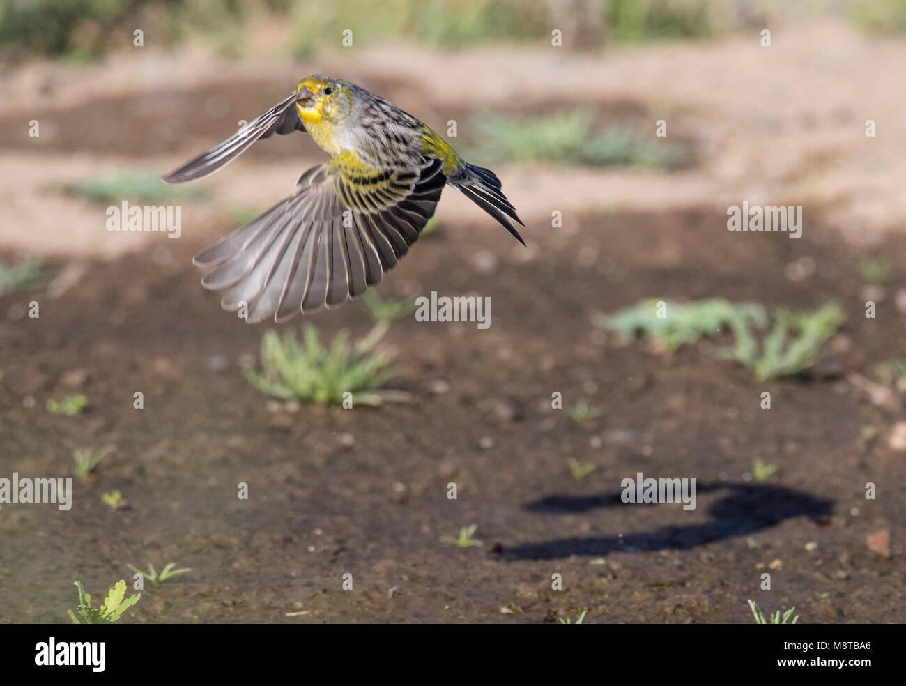 Atlantic Canary in flight - Stock Image