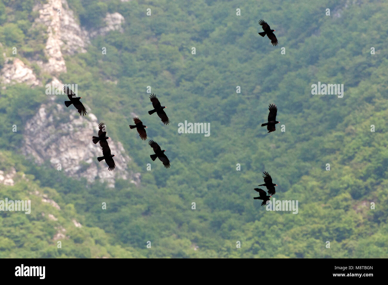 Groep Alpenkraaien vliegend door een dal; Group of Alpine Choughs flying through a valley - Stock Image
